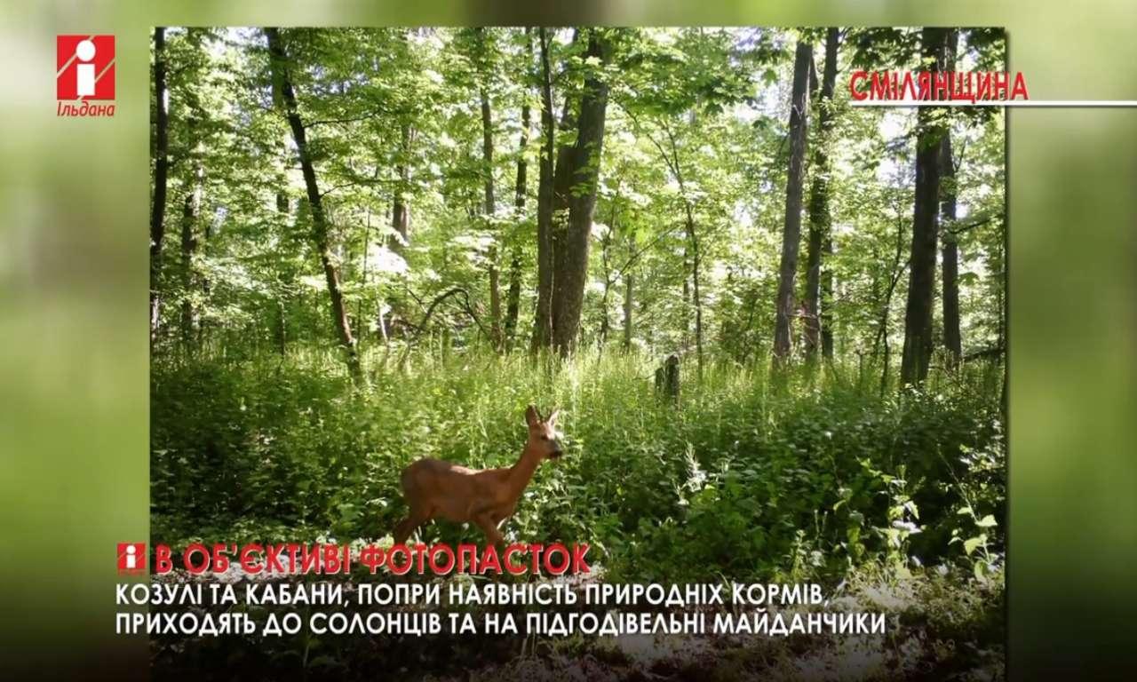 У фотопастки на Смілянщині потрапили косулі й дикі кабани (ВІДЕО)
