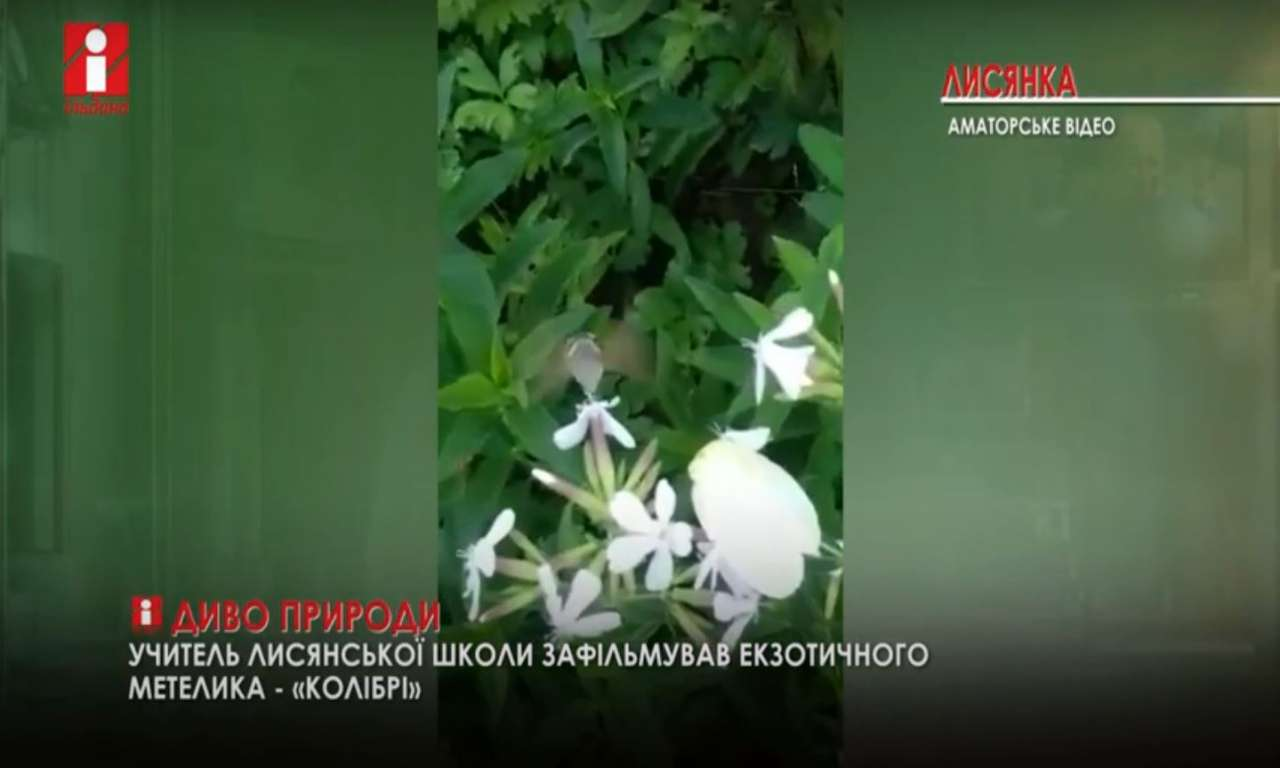 У Лисянці виявили вид унікальних комах (ВІДЕО)