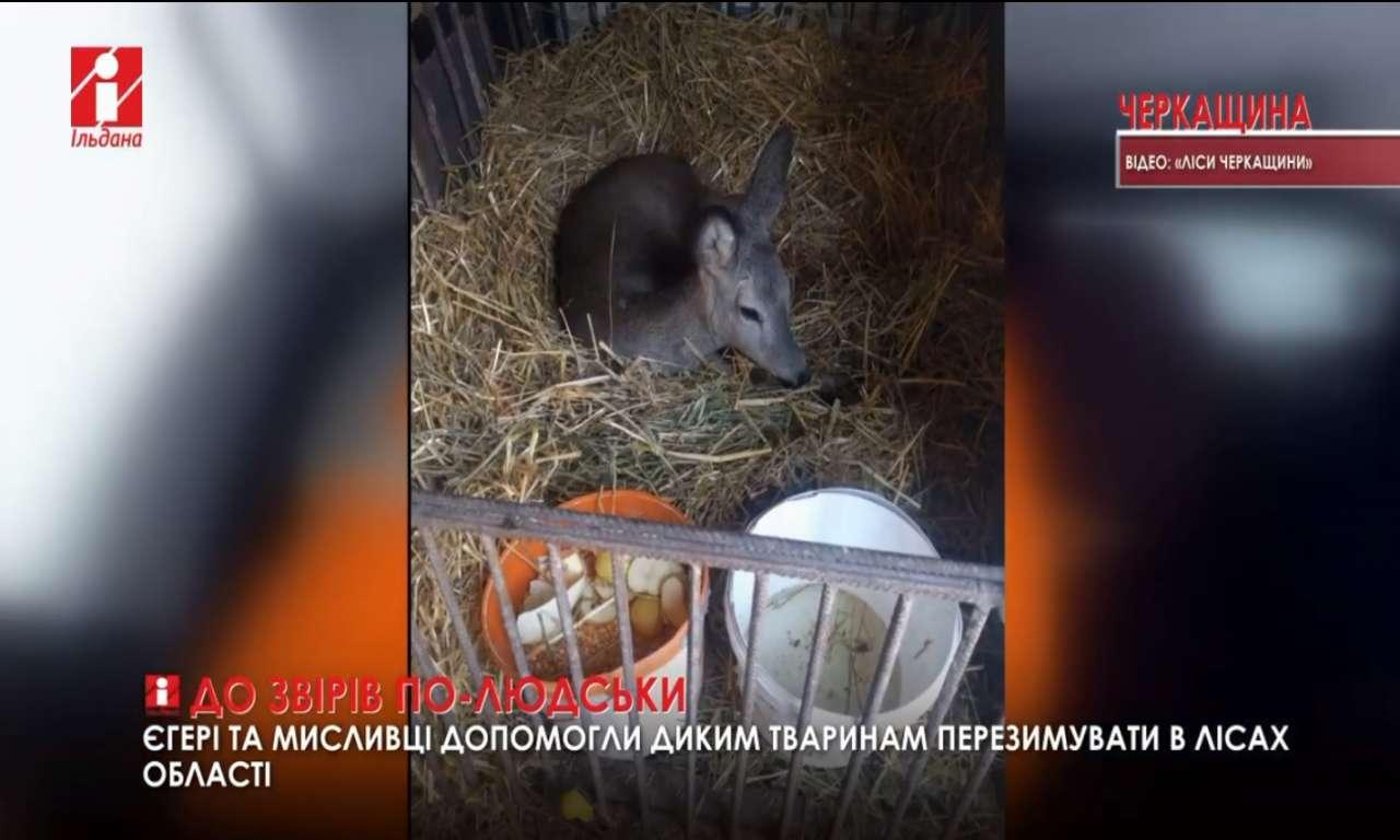 Диким тваринам допомогли пережити зиму єгері та мисливці Черкащини: тепер їх випускають на волю (ВІДЕО)
