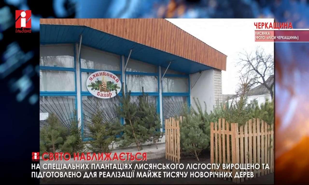 Майже тисячу ялинок приготовили на продаж у Лисянському лісгоспі (ВІДЕО)