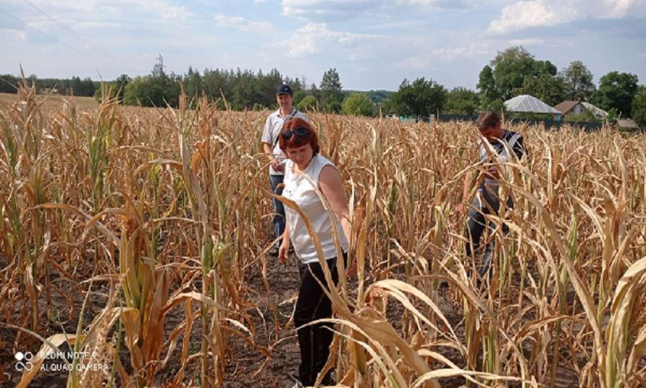 Черкаські аграрії втрачають урожай кукурудзи