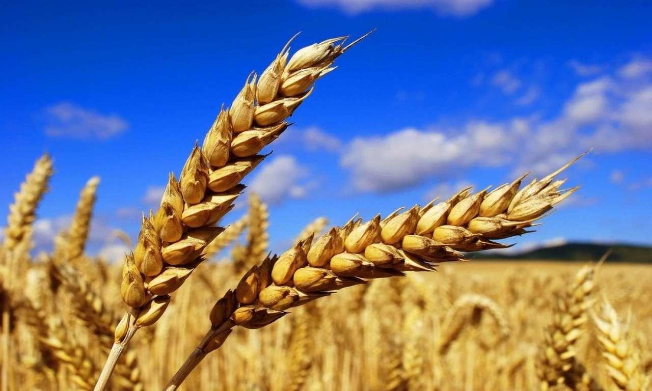 Високий урожай хлібів прогнозують Черкащині