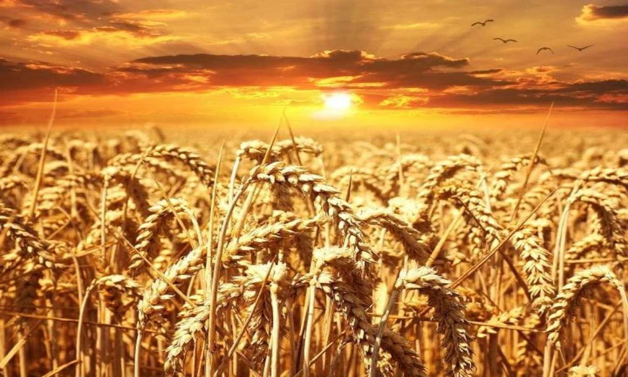 Спека рослинам не шкодить: на Черкащині очікують рекордні показники врожаю