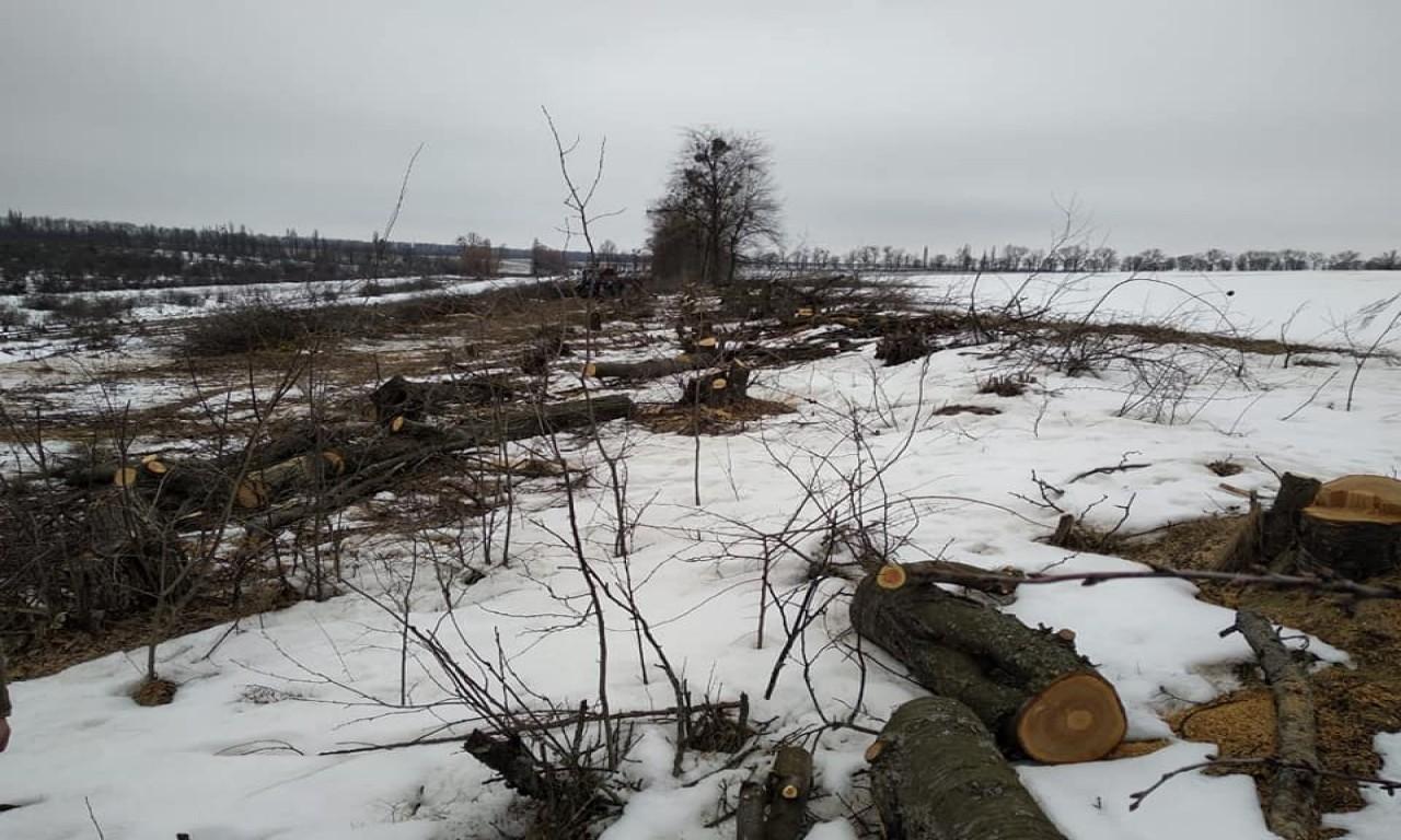 Майже сотню дерев зрубали в лісосмузі на Уманщині чорні лісоруби