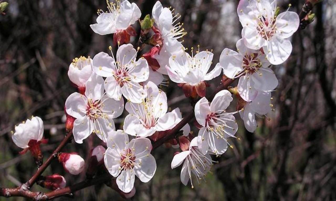 Плодові на Черкащині можуть зацвісти раніше: остерігайтесь заморозків