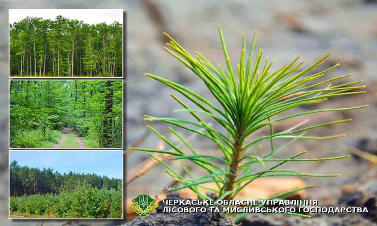 Понад тисячу гектарів лісу створили черкаські лісівники