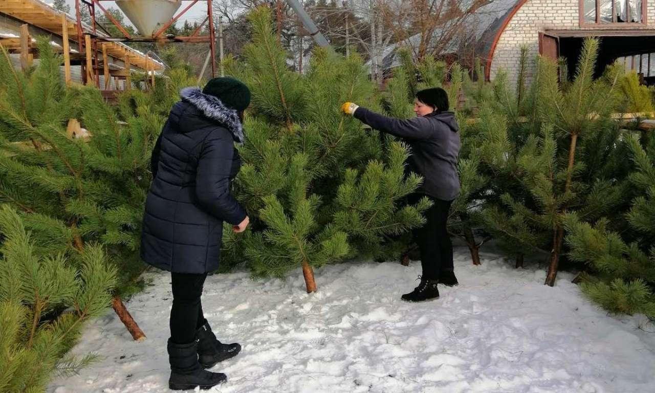 У Руськополянському лісництві вже почали новорічний ярмарок: реалізовано понад 200 ялинок-542
