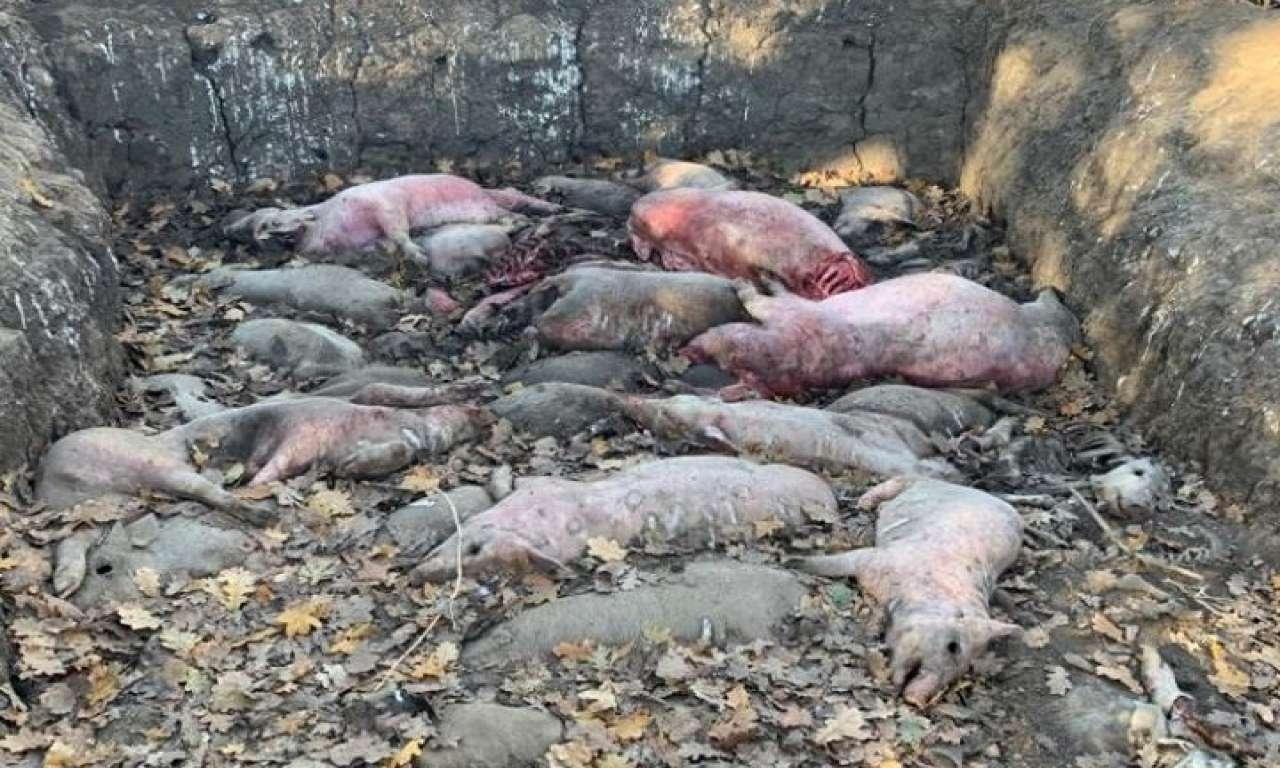 На території Жашківського району виявлено трупи тварин